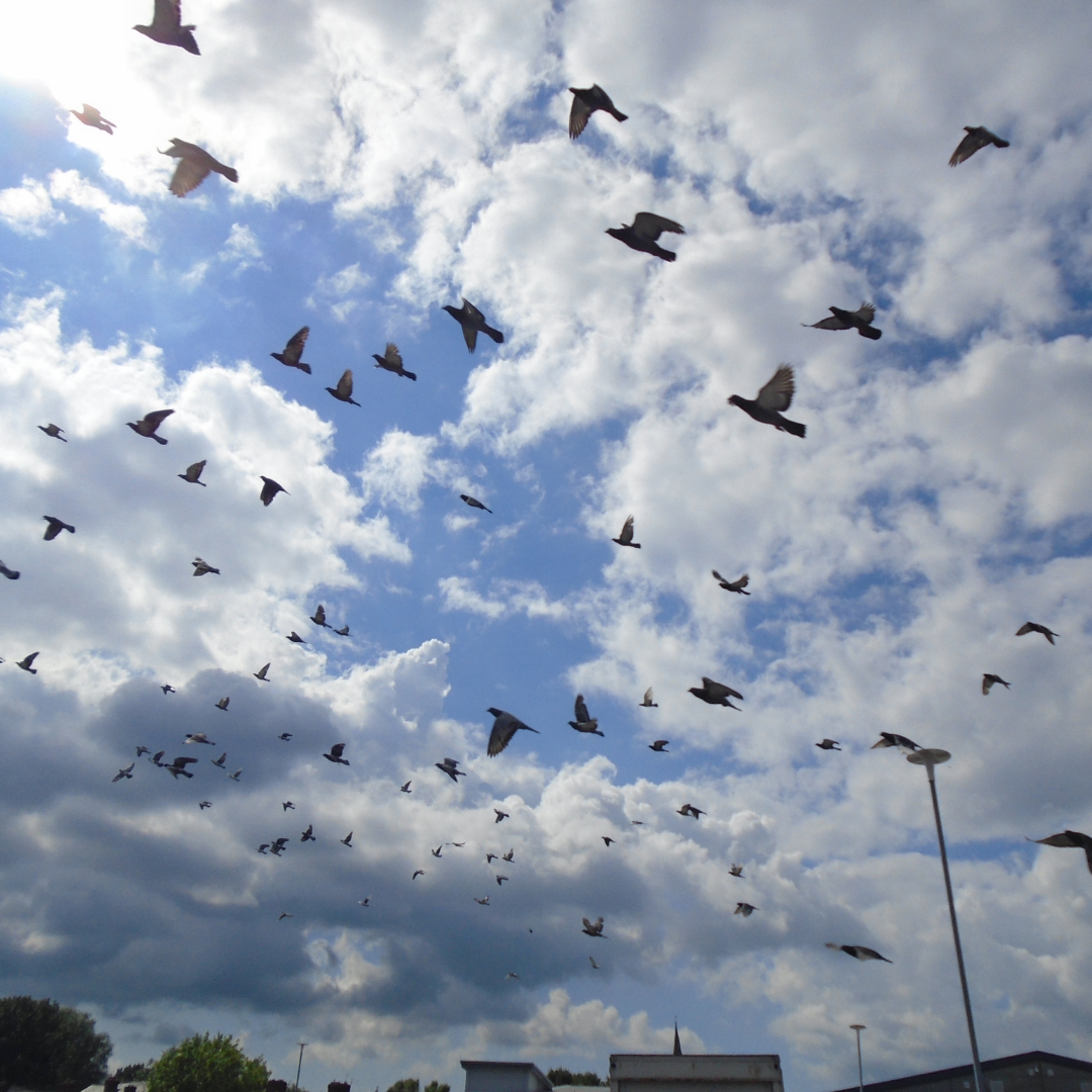 A flock of pigeons in flight, silhouetted against a blue sky with clouds